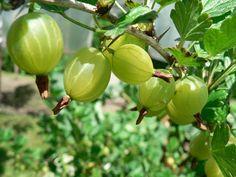 Groseille à maquereau (Ribes uva crispa)