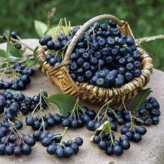 Aronia Melanocarpa, Blackberry, Health Fitness, Cancer, Fruit, Food, Plant, Harvest Season, Elder Flower