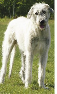 White Irish Wolfhound. Bet it is the most loving and sweet dog ever!