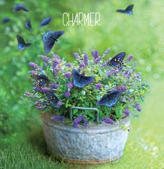 Proven Winners - Lo & Behold® 'Blue Chip' - Butterfly Bush - Buddleia x blue purple blue-purple plant details, information and resources. Flowering Shrubs, Trees And Shrubs, Beautiful Gardens, Beautiful Flowers, Butterfly Bush, Butterfly Flowers, Colorful Flowers, Purple Flowers, Hummingbird Garden