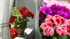 Från skräpigt fönsterkadaver till blomsterhav. Med enkla knep får du liv i pelargonerna igen – så här gör du.