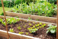 Good Companion Plants for Potatoes