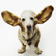 Basset ears!!