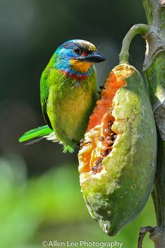 The Black-browed Barbet or Müller's Barbet (Megalaima oorti) is a bird belonging to the Asian barbet family, Megalaimidae. It has a scattered distribution in south-eastern Asia./   五色鳥