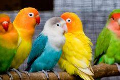 cute hd lovebirds - agapornis, hd parrot wallpaper, lovebirds, parrots