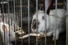 SPAIN, APRIL 2014 - Investigation reveals cruelty inside rabbit farms
