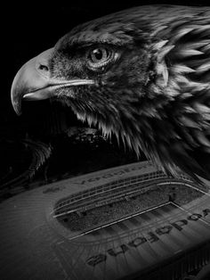 Bald Eagle, Wallpaper, Animals, Sports, Hs Sports, Animaux, Animal, Sport, Wallpapers
