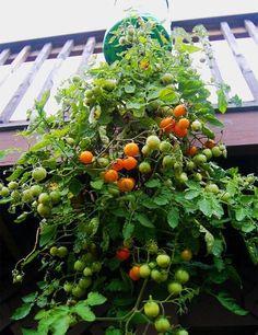 Planta tus propios tomates en una botella de plástico reciclada
