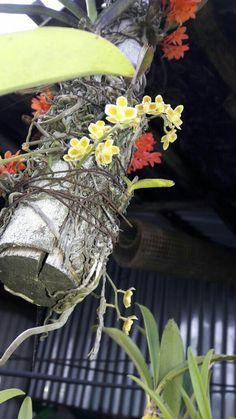 Miniature Orchids, Grapevine Wreath, Grape Vines, Miniatures, Wreaths, Home Decor, Flowers, Decoration Home, Door Wreaths