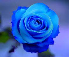 Kết quả hình ảnh cho blue rose