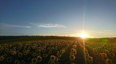 お疲れさま ひまわり畑夕陽 #ひまわり ##sunflower #夕陽 #sky #sun #sunset #sunshine #sol #red #sky #clouds #sunflowers #北海道 #名寄市 #名寄 #智恵文 #ひまわり畑 #向月葵 #nānālā #해바라기 #葵花#向日葵 #星守る犬 # STARPROTECTORDOG #ビタミンカラー #満開 #adoration #死ぬまでに行きたい世界の絶景 #日本編 入れていいのかわからんが入れておく