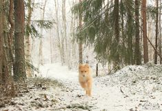 Lappmarksvägen winter hike #lappmarksvägen #hiking #hikingadventures #örnsköldsvik #hikingtrail #lapphund #finsklapphund #puppylove #forest #vandringsled #naturephotography #landscape #winterwonderland #sweden #bestoftheday #vandra #friluftsliv #outdoors #animallovers