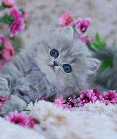 Cute Fluffy Grey Kitten Laying amongst the Flowers Cute Cats And Kittens, I Love Cats, Kittens Cutest, Amor Animal, Mundo Animal, Pretty Cats, Beautiful Cats, Image Zen, Baby Animals