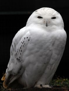 Snowy Owl Saw Whet Owl, Snowy Owl, Wildlife, Carving, Birds, Animals, Animales, Animaux, Wood Carvings