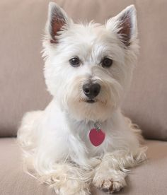 West Highland White Terrier | WOOFipedia, provided by the American Kennel Club