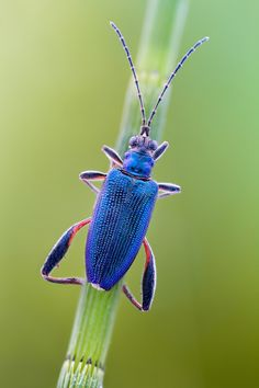 """Leaf Beetle (Donacia crassipes - Coleoptera - Chrysomelidae) perched on """"Horsetail"""" (Equisetum). Leaf Beetle, Beetle Bug, Blue Beetle, Reptiles, Picture Cube, Insect Photography, Amazing Photography, Cool Bugs, A Bug's Life"""