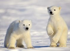 Polar-Bear-Mother-and-Cubs-by-Michelle-Valberg
