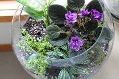 Round bowl style terrarium for African Violets indoors : Trillium Design -- Terrariums and Indoor Gardens