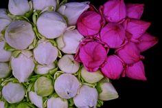 purple + white lotus buds