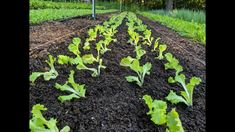 Transplant Lettuce FAST - No Paperpot Transplanter Growing Lettuce, Organic Soil, Weed Control, Hobby Farms, Farm Gardens, Urban Farming, Container Plants, Winter Garden, Vegetable Gardening