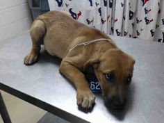 7/15**  9 weeks old! DELILAH - ID#A463253 - located at Harris County Animal Shelter in Houston, Texas - 9 WEEK OLD Female Lab Retriever - at the shelter since July 06, 2016.