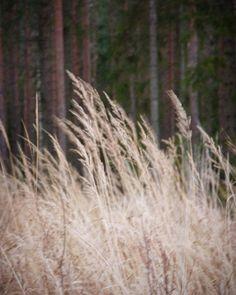 Hays shivering in autumn wind @kuulas_valo on Instagram