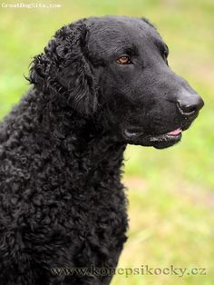 Curly Coated Retriever - looks like my Dylan!! I miss you d-man