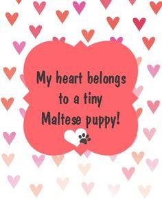 My heart belongs to a tiny Maltese puppy! Little Maltese