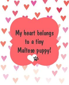 My heart belongs to a tiny Maltese puppy! Little Maltese