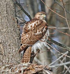 A-JuvenileRed-shoulderedHawk