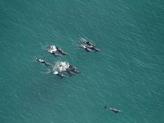 Foto aérea de um grupo de golfinhos nadando na manhã desta segunda-feira (08), na Praia da Reserva, entre a Barra da Tijuca e o Recreio dos Bandeirantes, na Zona Oeste do Rio de Janeiro. (Foto: CARLOS EDUARDO CARDOSO/AGÊNCIA O DIA/ESTADÃO CONTEÚDO)