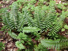 12 Christmas Fern Evergreen SHADE ground cover by WetNWildGardens
