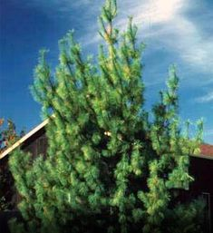 White Pine: Pinus strobus, this evergreen makes fantastic garlands and wreaths. It is also extremely fast growing. I wonder if I kept some on the boarder of our yard and if I pruned them constantly whether they'd do alright as a topiary sort of ground shrub instead of a full tree?