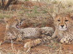 Meet Kiara & Doa. Two cheetahs who need a new home. Can You Help? 4611235 t.n.v. Stichting SPOTS te Etten-Leur
