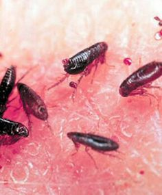 Fleas are disgusting, disease-ridden, relentlessly breeding mini-vampires. They are miserable to pets and humans. They also have the potential for illness and death. Here's how to destroy them! Home Remedies For Fleas, Flea Remedies, Flea In House, Cat Diseases, Flea Treatment, Flea And Tick, Cat Health, Dog Boarding, Diy Stuffed Animals
