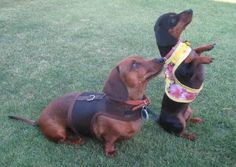Little Annie and Harley won Doxie Dog of the Month for their outfits So proud of them