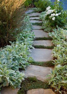stone path lined with lambs ear