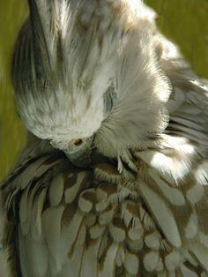 White Faced Cinnamon Pearl Cockatiel