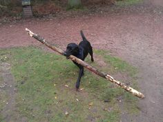 Showing off.   Typical Lab - tell them to retrieve a stick and they bring the tree!   LOL