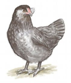Ameraucana (Blue) - Contains the blue egg gene that was first discovered in the Araucana chicken from Chile. Recognized as a distinct breed in the early 1980s and there are eight varieties: black, blue, blue wheaten, brown red, buff, silver, wheaten and white. Eggs are various shades of blue.