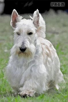 Teddy of South Africa -  love the wheaton scotties !