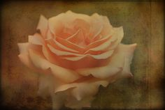 Peach roseblank notecardunique giftsummer by EyeLuvPhotography, $3.00