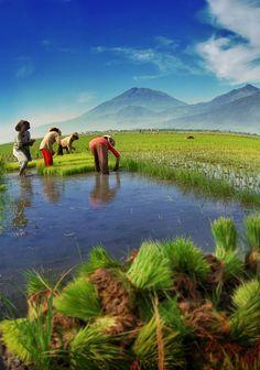 Indonesian Rice Field by nooreva.deviantart.com on @DeviantArt