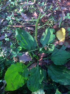 Broad leaf plantain