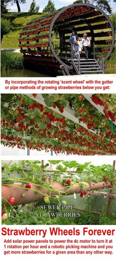 I'd love to eat all these strawberries, wouldn't even need the robotic picker!