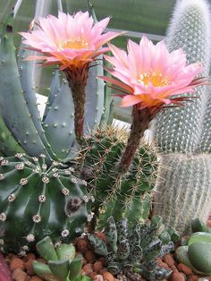 Echinopsis Tubiflora by Harry-Harms