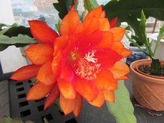 """Epiphyllum """"Three Oranges"""""""