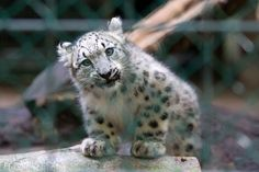 baby snow lynx - Google Search