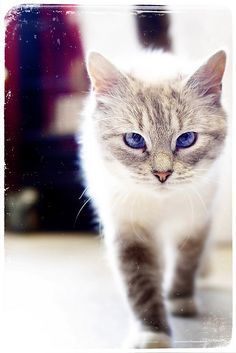 """""""A cat is a lion in her own lair."""" --Indian Proverb"""