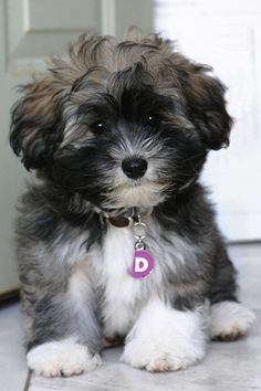 Cute pic of a Havanese Puppy